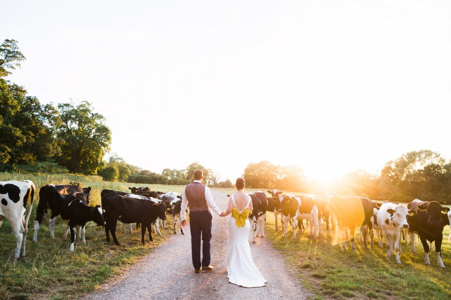 Bride in dress with yellow bow back detail and Groom walk away from camera into a field of cows and golden hour evening sunshine during their relaxed Nottinghamshire Thrumpton Hall country wedding