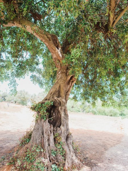 Fine Art detail of olive tree from a Destination wedding in a vineyard Algarve Portugal