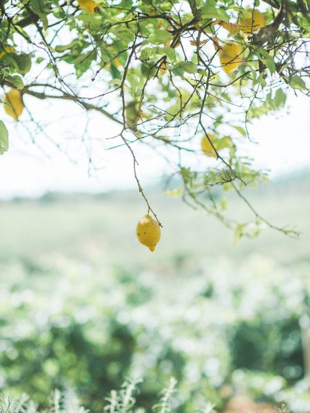 Lemons growing on a tree with vines in the background from a Destination wedding in a vineyard Algarve Portugal