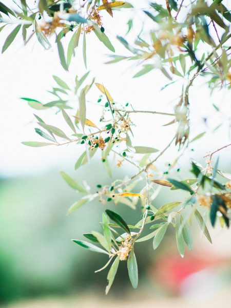 Olive tree branches from a Destination wedding in a vineyard Algarve Portugal
