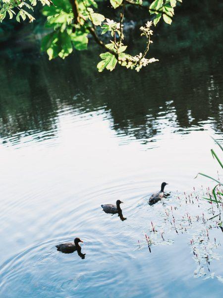Ducks swim in a lake Bakken Copenha Denmark
