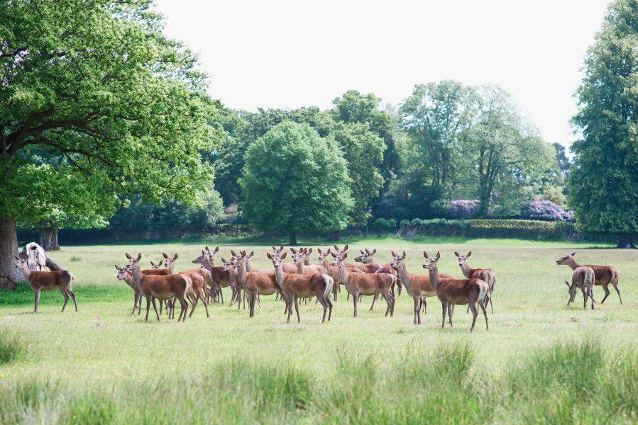 Fine Art fuji400h film portrait of wild deer in a field looking at camera for Tara Bradley-Birt bridal fashion shoot