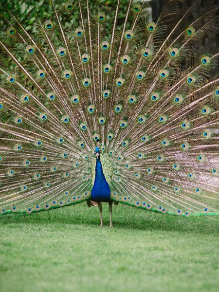 Peacock at Larmer Tree Gardens