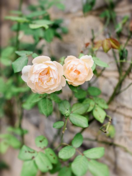 Apricot rose wall at Weston on the Green Manor Oxfordshire